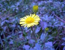 Палм-Спрингс, дейзи семена цветов Палм-спрингс Ромашка/Jin Fengju/цветы 20 ШТ. Мозаика ароматный