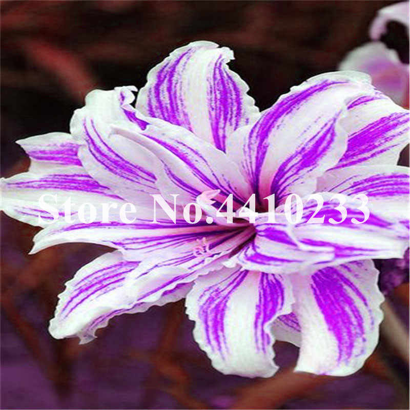 Genuine! 30 Pcs/Lot Hybrid Bright Daylily Flowers Bonsai Plants Hemerocallis Lily Indoor Bonsai Home Garden Balcony Supplies