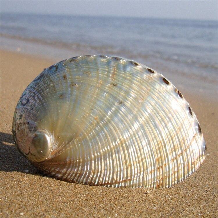 1PCS 12 14cm Haliotis Roei Haliotis Ovina Ass's Ear Abalone Super Natural Conch Sea Shell Home Wedding Decoration Natural Crafts