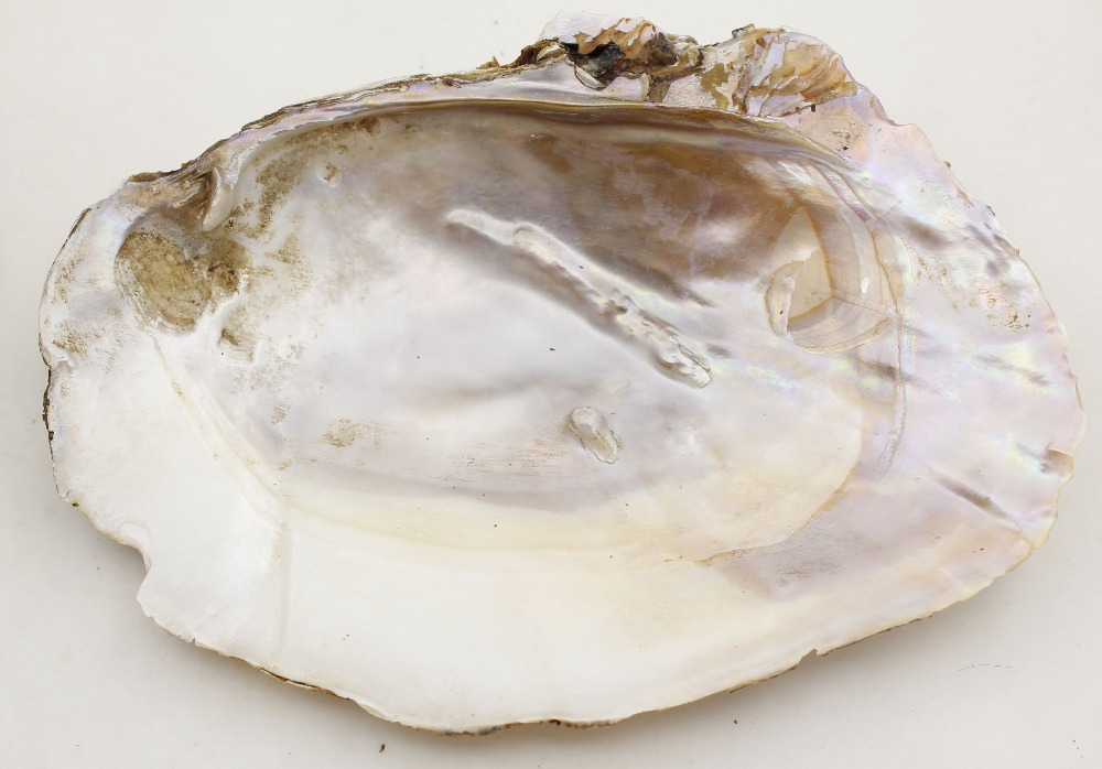 Купить с кэшбэком 1PCS 150mm-170mm Natural Huge Baroque Mother of Pearl Shell  Clam Display