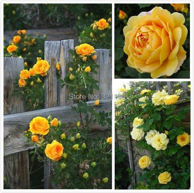 Buy Flower Seeds100 Yellow Climbing Roses