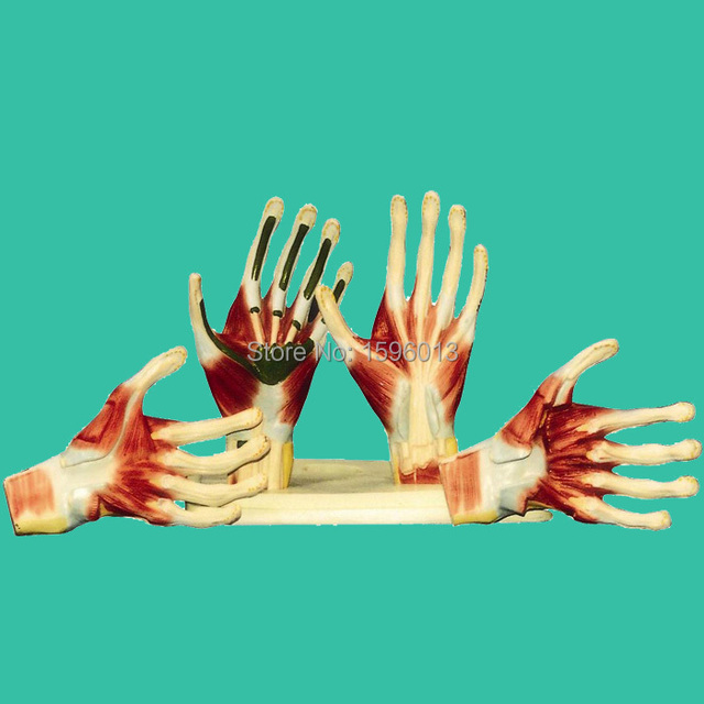 Palm Anatomy Model, Hand Anatomy model,Palm Model-in Medical Science ...