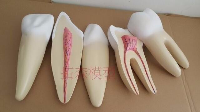 Cheap denture model