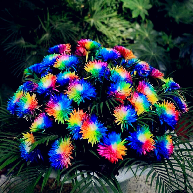 2016 Hot Sale 20 Rainbow Chrysanthemum Flower Seeds, rare color ,Exotic new arrival DIY Home Garden plant