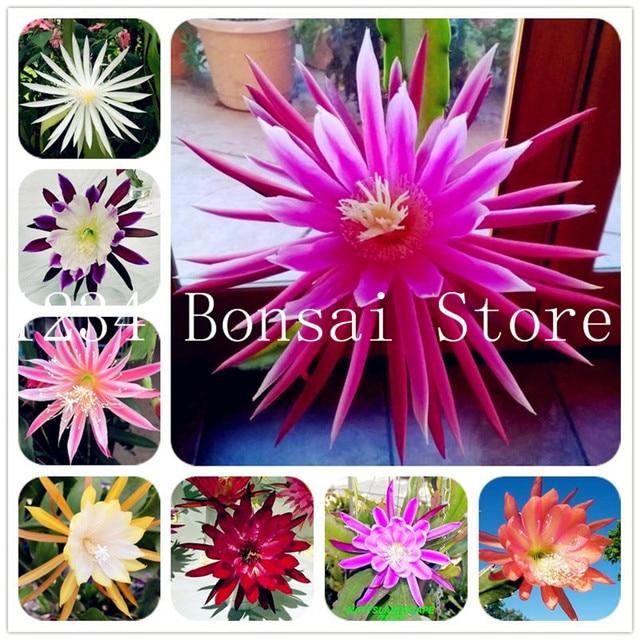 100 Piezas Cactus Plantas Japones Epiphyllum Plantas Suculentas Flor