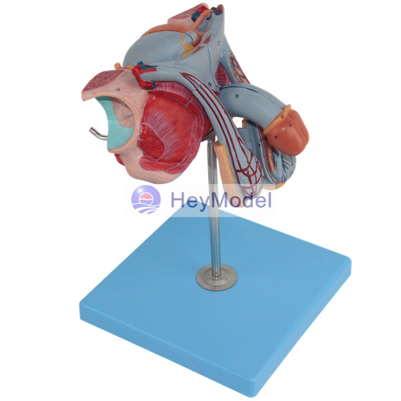 HeyModel Anatomical Models of Male Reproductive Organs Bladder Penile Section Male Genitourinary System vinclozolin induced reproductive toxicity in male rats