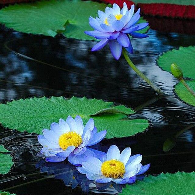 20 bleu saphir lotus graines de fleurs rare couleur parfait cour plante tiquette lotus5. Black Bedroom Furniture Sets. Home Design Ideas