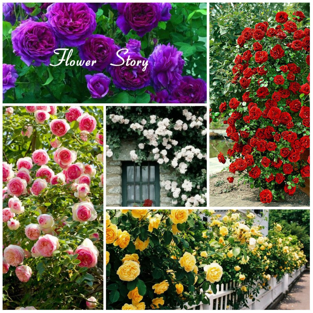 Buy 100 climbing roses seeds pink red for Classic house with flower garden