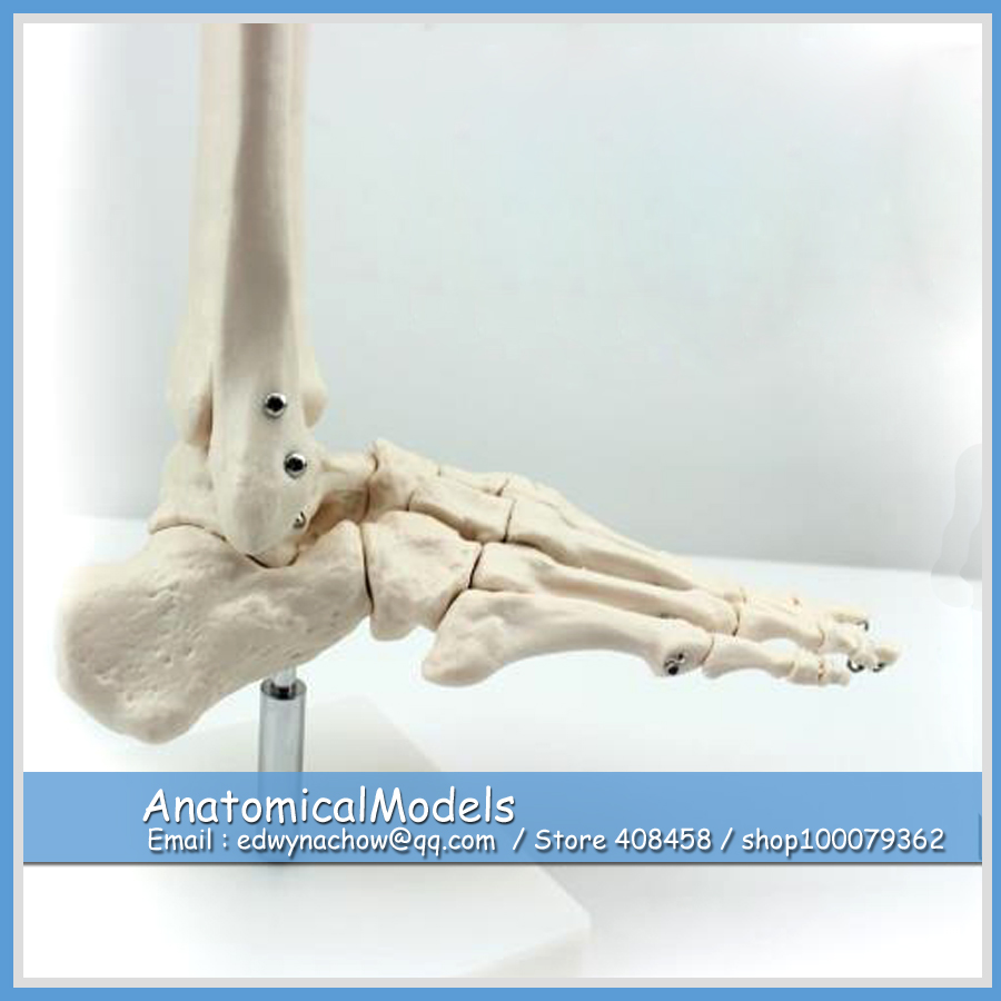 ED-JOINT01 Life Size Human Foot Ankle Bone Skeleton Joint Model,  Medical Science Educational Teaching Anatomical Models life size skeleton 180cm tall human skeleton