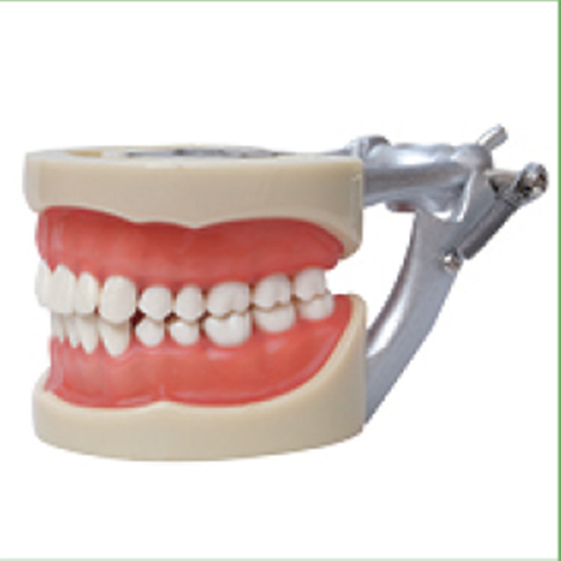 1pc Standard Model,32pcs,Soft Gum,teeth models Teeth Jaw Models for dental school teaching dentist dental teeth Models