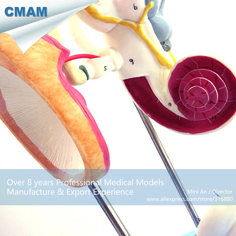12518 CMAM EAR03 4x Life size Inner Ear, Auditory Ossicle and ...