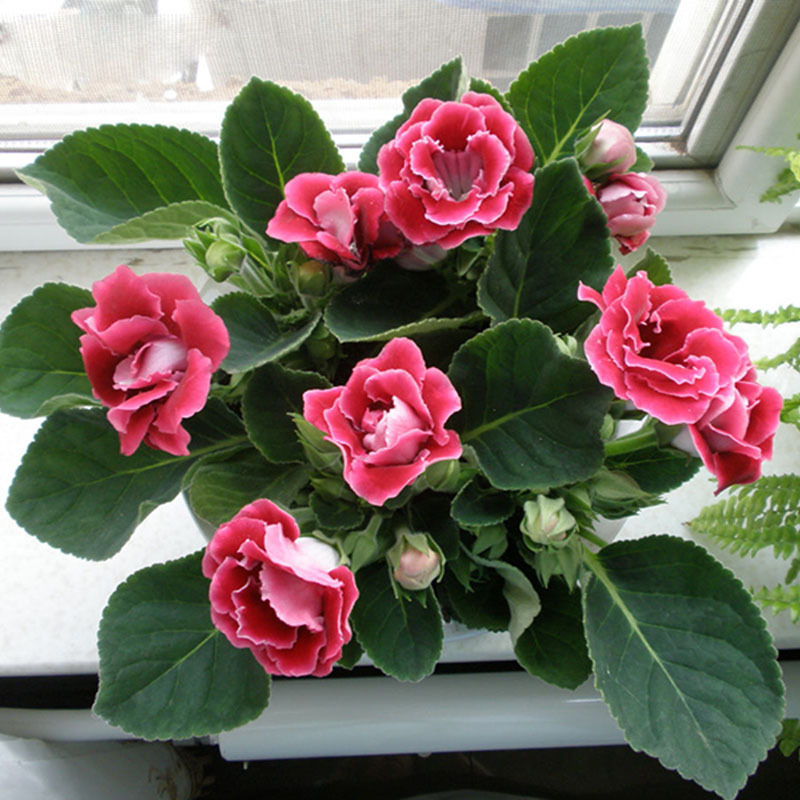 Buy Hot Sale Unique Red Gloxinia Seeds