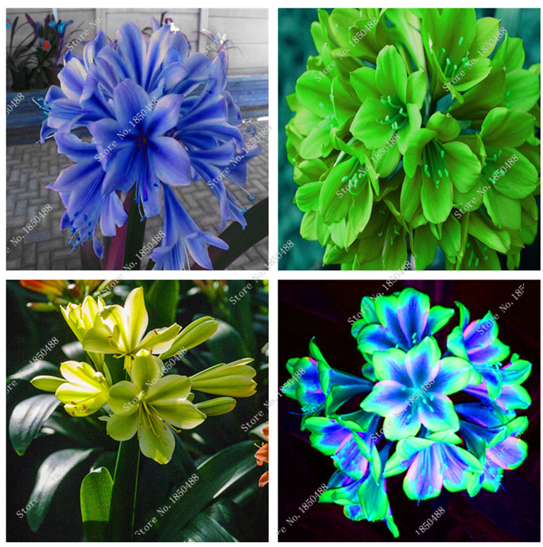 popular clivia seeds buy cheap clivia seeds lots from china clivia seeds suppliers on. Black Bedroom Furniture Sets. Home Design Ideas
