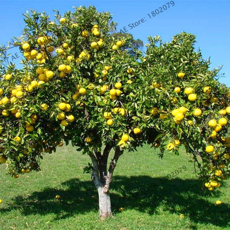 pummelo grapefruit