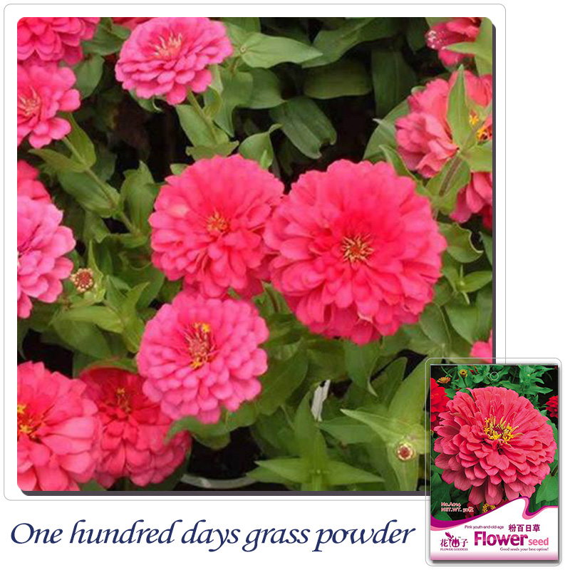 Popular Zinnias FlowersBuy Cheap Zinnias Flowers lots from China