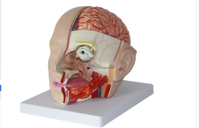 1:1 Size of Humans Skull 4 Parts Removable Humans Head Anatomical ...