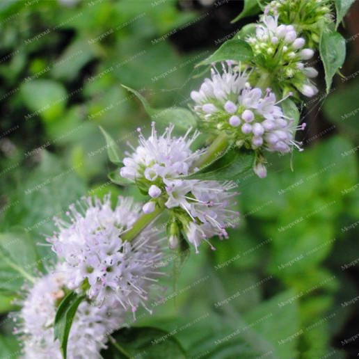 Perennial Vegetable Seeds Balcony Potted Peppermint Aromatic Plant