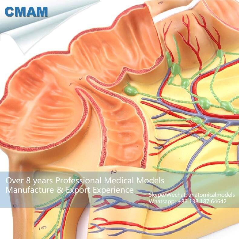 12553 Cmam Viscera16 Oversized Human Anatomy Model Of Appendix Of