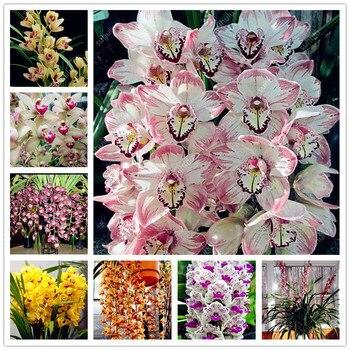100pcs/bag Imported Cymbidium Orchid Phalaenopsis Outdoor Bonsai Flower Pot Balcony Planta for Home Garden Planting Easy to Grow
