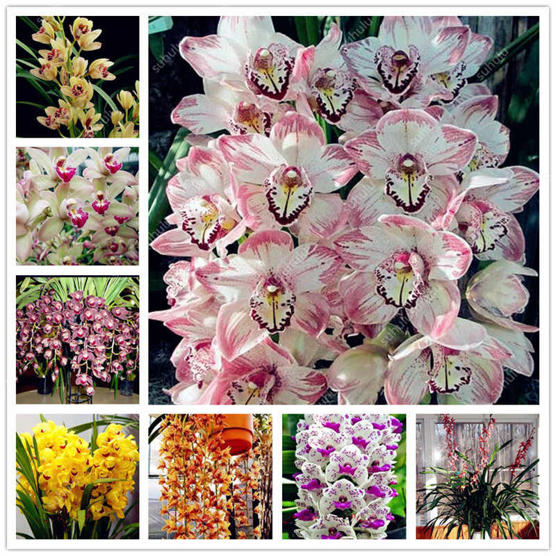 100pcs/bag Imported Cymbidium Orchid Phalaenopsis Outdoor Bonsai Flower Pot Balcony Planta for Home Garden Planting Easy to Grow