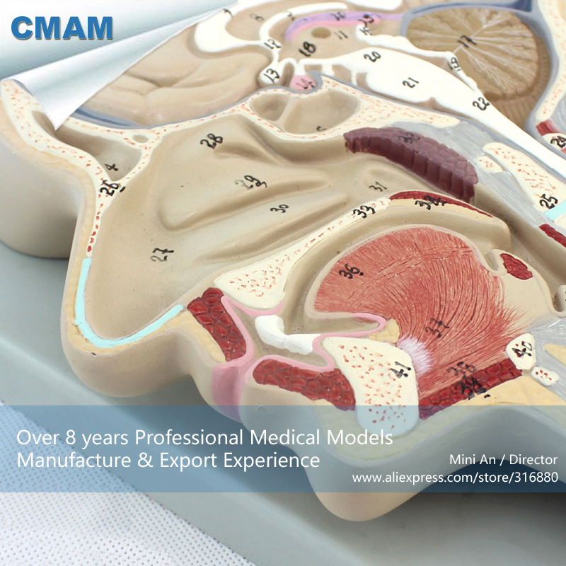 12399 CMAM-BRAIN02 Human Section Head Brain Anatomy Model, Medical Science Educational Teaching Anatomical Models цена