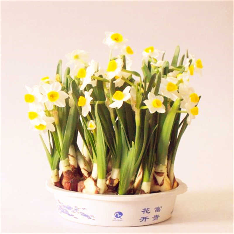 100Pcs Narcissus Flower Bonsai Daffodil Flower Bonsai Plants Double Petals Absorption Radiation Potted DIY Home Garden Planting