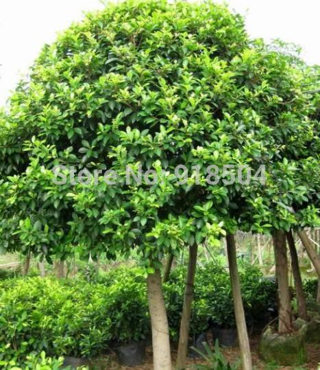 Achetez en gros ficus microcarpa en ligne des grossistes - Ficus benjamina precio ...