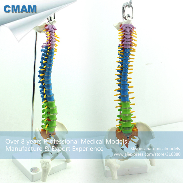 Pre Order Cmam Spine03 Color Didactic Spine Model With Half Femur