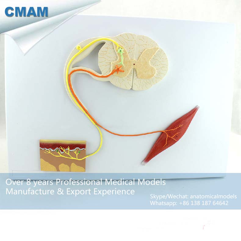 цена 12420 CMAM-NERVE01 Human Medical Central Nervous System Model on Board, Medical Science Educational Teaching Anatomical Models