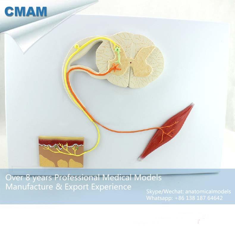 12420 / Human Medical Central Nervous System Model on Board, Medical Science Educational Teaching Anatomical Models