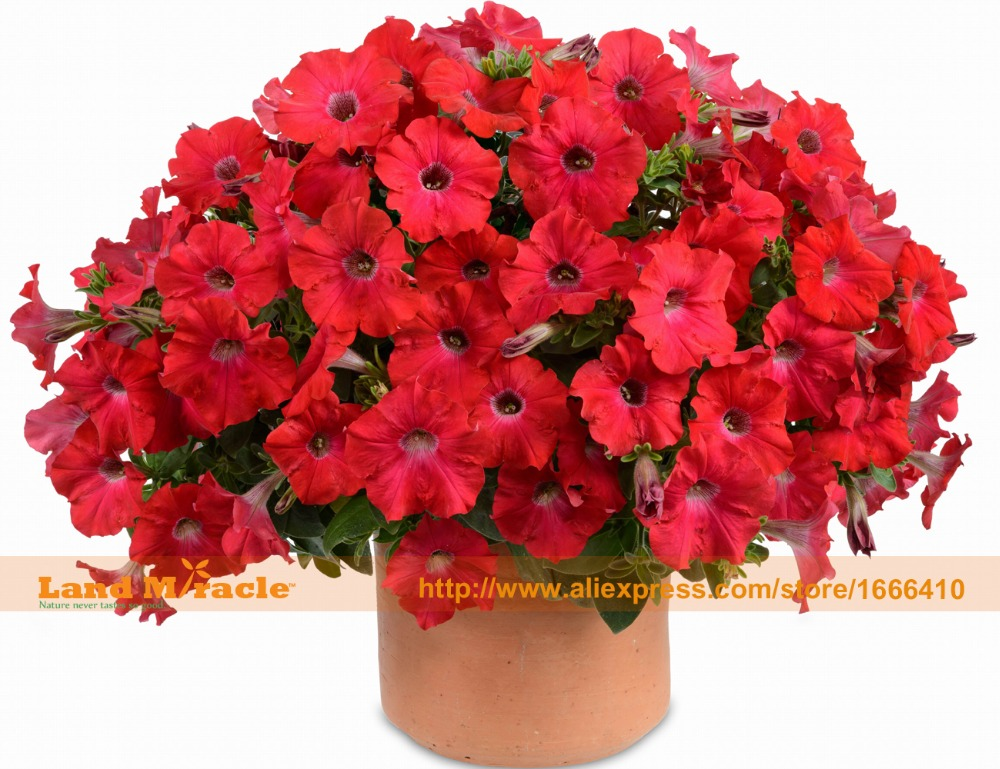 Garden Petunia Bonsai Red Petunia Hybrida Seeds 100 Seeds Pack Very Beautiful Garden Flowers Light Up
