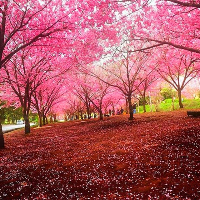 Sakura Seeds, Weeping Cherry Tree Seeds , 10pcs/pack
