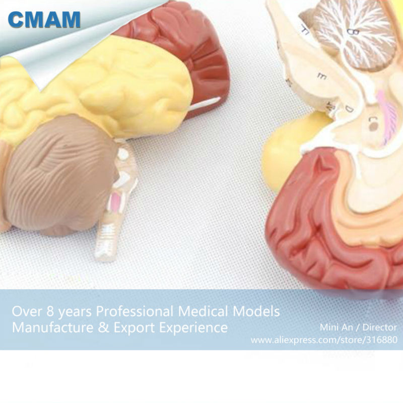 12409 CMAM BRAIN11 Advanced Medical Anatomy 2 Parts Cross Section ...