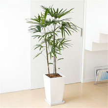ZLKING HOT SALE Palm Bamboo Home Gardening Wholesale 20pcs/lot Garden Bonsai Tree Plant S002
