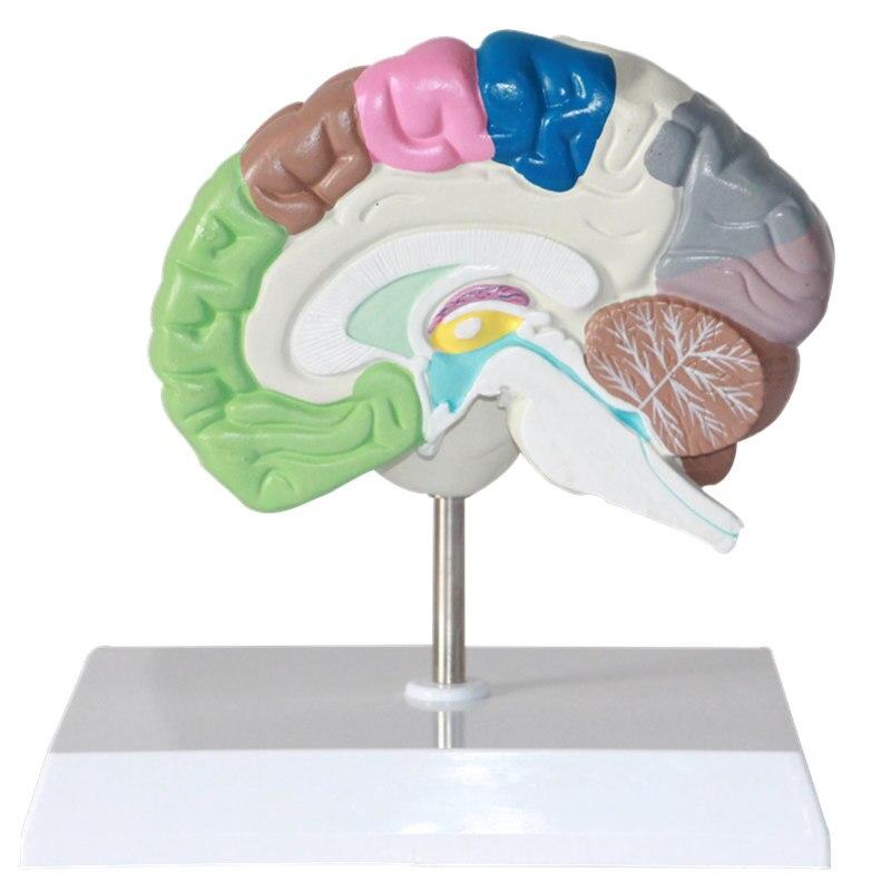 Gehirn funktion zonierung Menschliche gehirn modell gehirn ...