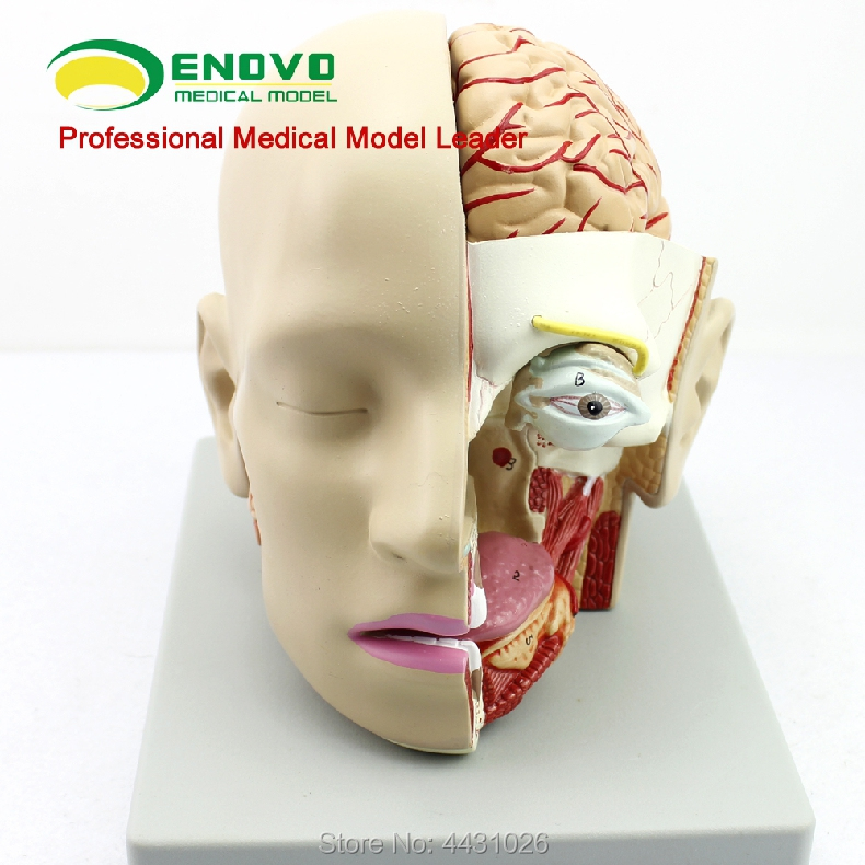ENOVO Human medical brain model sagittal sinus model oral and otorhinolaryngology modelENOVO Human medical brain model sagittal sinus model oral and otorhinolaryngology model