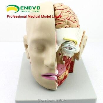 ENOVO Human medical brain model sagittal sinus model oral and otorhinolaryngology model