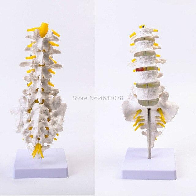 العلامة التجارية الجديدة تشريح الإنسان الفقرات القطنية نموذج فقرات كاجوال تشريح اللوازم التعليمية الطبية 32x12x12cm