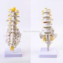 真新しい人間解剖腰椎モデル尾椎骨解剖医療教育用品 32x12x12cm