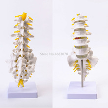 Brand New Human Anatomical Lumbar Vertebrae Model Caudal Vertebra Anatomy Medical teaching supplies 32x12x12cm