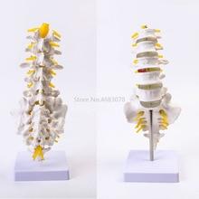 Nuevo Modelo de vértebras lumbares anatómico humano, vértebra Caudal, suministros de Enseñanza Médica de anatomía, 32x12x12cm