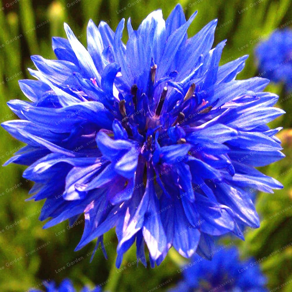 100 Pcsbag Blue Cornflower Centaurea Cyanus Bonsai Balcony Patio