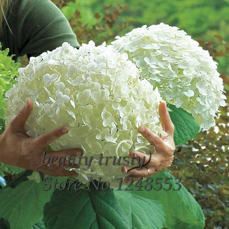 Promotion!!! 100 pcs / bag White Hydrangea Flower seeds,Pure color ,lasting..