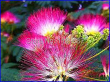 Silk Tree Seeds Albizia Julibrissin 20pcs