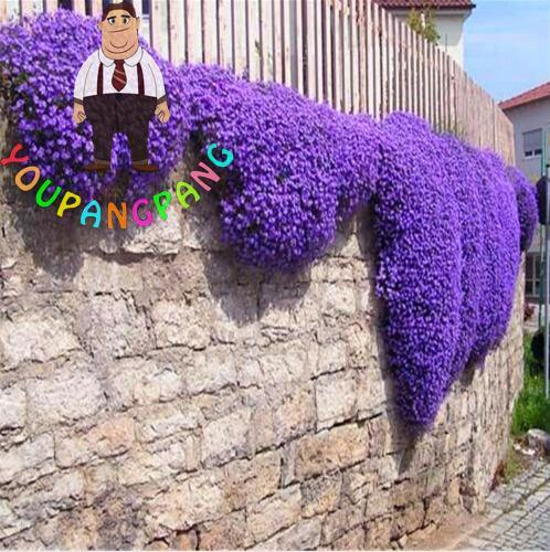 100 Pcs Aubrieta Seeds Rock Cress Cascade Purple Flower Seeds Bonsai Vine Plants For Home Garden Semillas Perennial Ground Cover