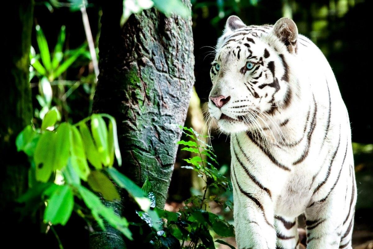 ღ Ƹ̵̡Ӝ̵̨̄Ʒ ღTigre blanco animal depredador KC167 salón hogar ...