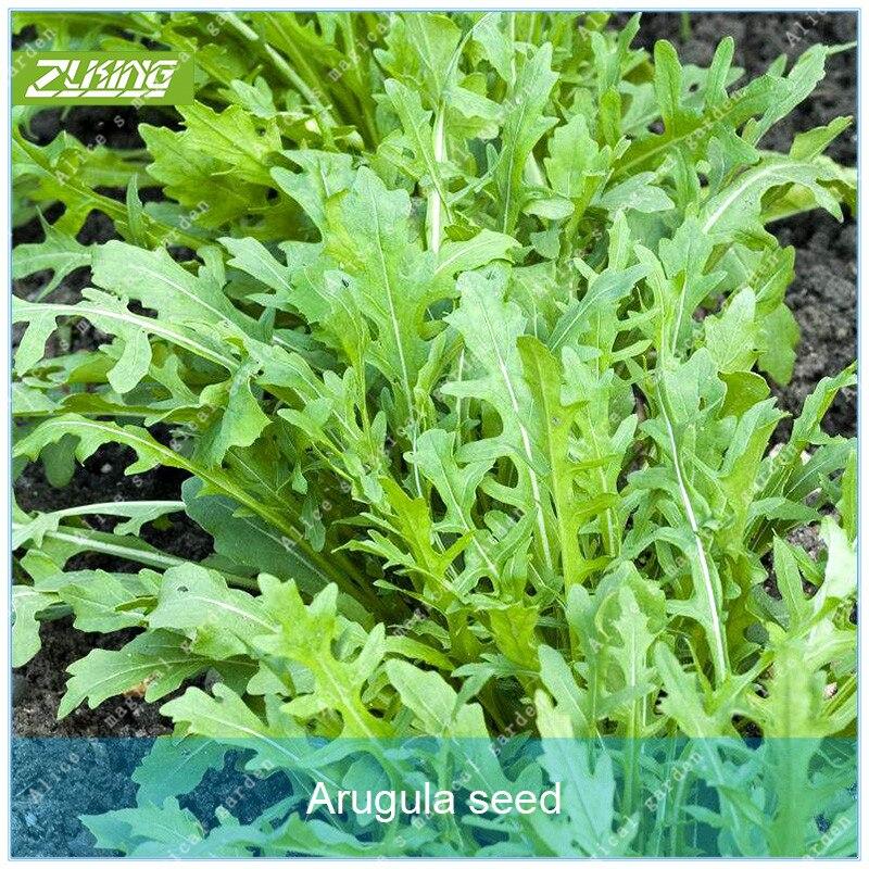 ZLKING 100 Руккола Органические растительные бонсай растения для дома сад Сверхъестественное продукции овощей Китай