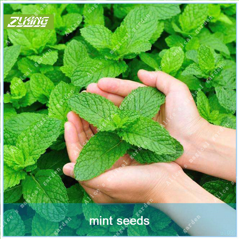 200 PCS PERENNIAL herb mint chinese herb good smell mint