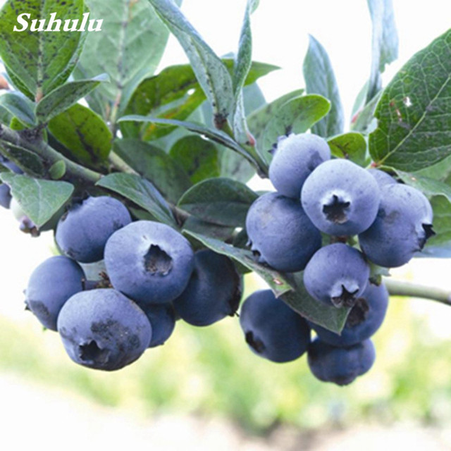 BlueBerry Fruit Seeds (500 Pieces)