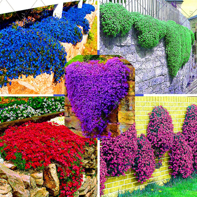 100pcs bag rock cress seeds climbing barley plant for Flower garden decorations